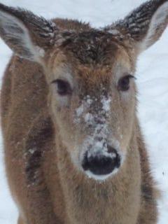 A deer in Pound Ridge.