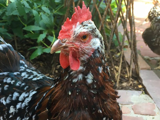 A 6-year-old chicken named Firehawk.