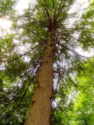 Millions of hemlock trees in Kentucky are threatened by the hemlock woolly adelgid.