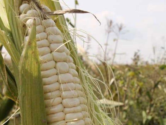 Iroquois white corn