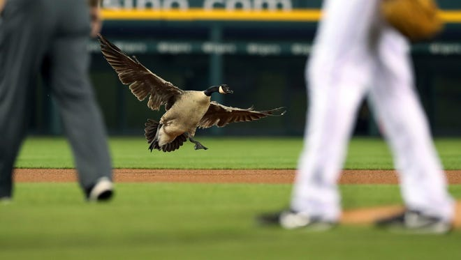 A goose lands near the pitching mound at Comerica Park in Detroit during the sixth inning of the Tigers' home game against the Angels on May 30.