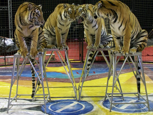 Animal acts such as these tigers are part of the 2018 Tripoli Shrine Circus.