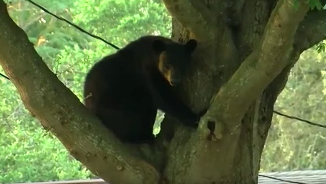 Police say no one is in danger in the neighborhood, which is near Adventure Island, a water park across the street from Busch Gardens. The bear will be returned to its natural habitat.