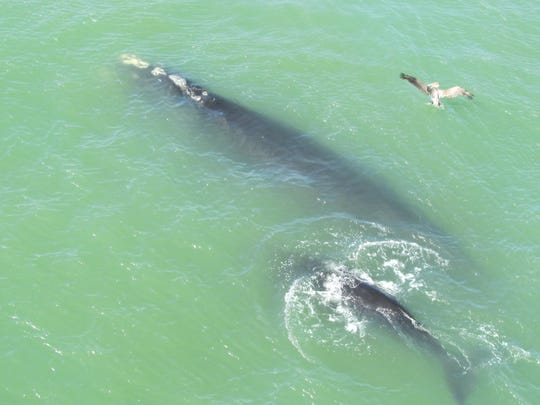 The whales head back for the Atlantic.