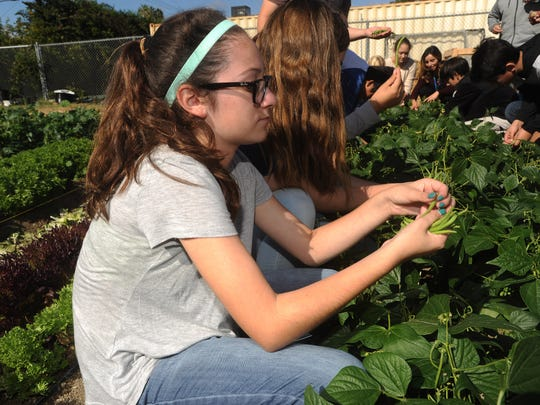Seventh-grader Angelina Gray-Reyes helps harvest green beans at the Salad Bar Farms garden Monday at Balboa Middle School in Ventura.