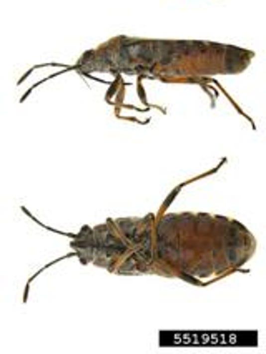 elm-seed-bug_crop