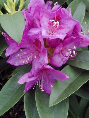 Deadhead rhododendrons after they bloom.