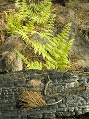 Ferns grow in the Wallow Fire burn area north of Hannagan
