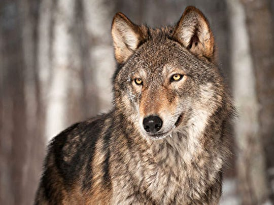 The Ridges Sanctuary holds a free, two-part class.on learning to track carnivore mammals, such as the wolf.