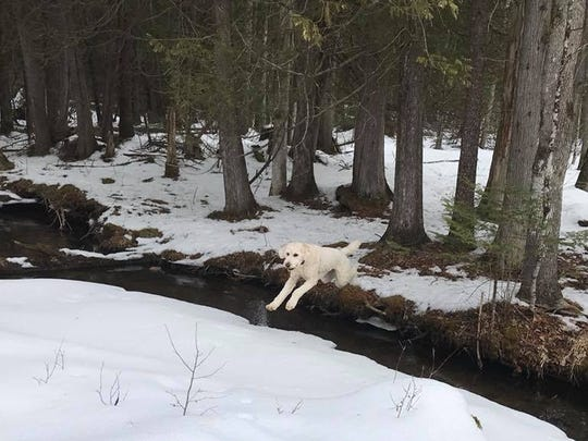 Henry, a golden doodle, leaps over a creek during an winter hike along the Plover River Section of the Ice Age Trail.