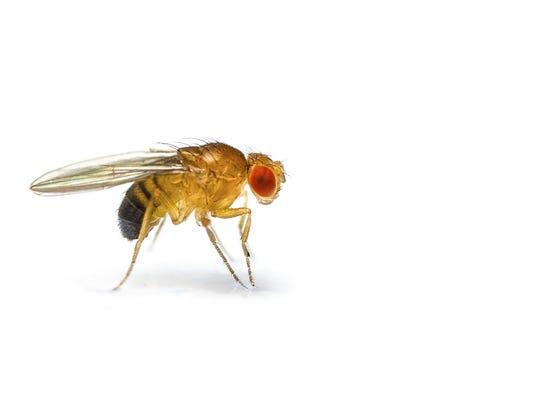 636098005217071310-TLHBrd-08-14-2015-Democrat-1-C004--2015-08-13-IMG-fruitfly-3-1-KUBK0IMD-L658495769-IMG-fruitfly-3-1-KUBK0IMD.jpg