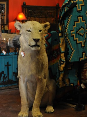 A rare white lioness stands guard at the newly opened Santa Fe Furniture and Gifts in Ruidoso Downs.