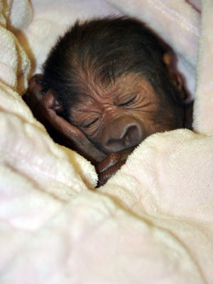 Mia Moja, 27, gave birth to a baby girl via an emergency C-section Monday, March 14. Mia died shortly after on Tuesday. The baby gorilla's father is Mshindi.