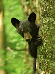 A black bear spotted in Kentucky.