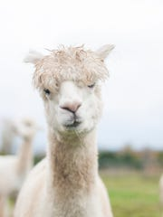 An alpaca at the Happy Stance Ranch Sunday, Oct. 30,