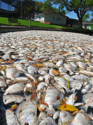 Fish kill in the Indian River Lagoon piled up in a canal in Cocoa Beach in March 2016. On Jan. 24, a nonprofit group will hold a free event in Melbourne to celebrate a new half-cent-per dollar sales tax that passed in November and to talk about how that money will be used for lagoon cleanups.
