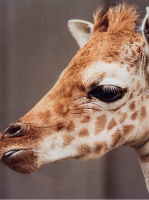 1993: Seven-week-old giraffe Georgia at Six Flags Great Adventure.