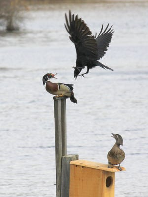 This 2015 photo is one of my favorites because it has action, excitement, two species and a recognizable setting: two wood ducks atop their nesting box at Allendale's Celery Farm being strafed by a crow. And, yes, I used a telephoto lens, but the box was across the water and the ducks were preoccupied with the crow.
