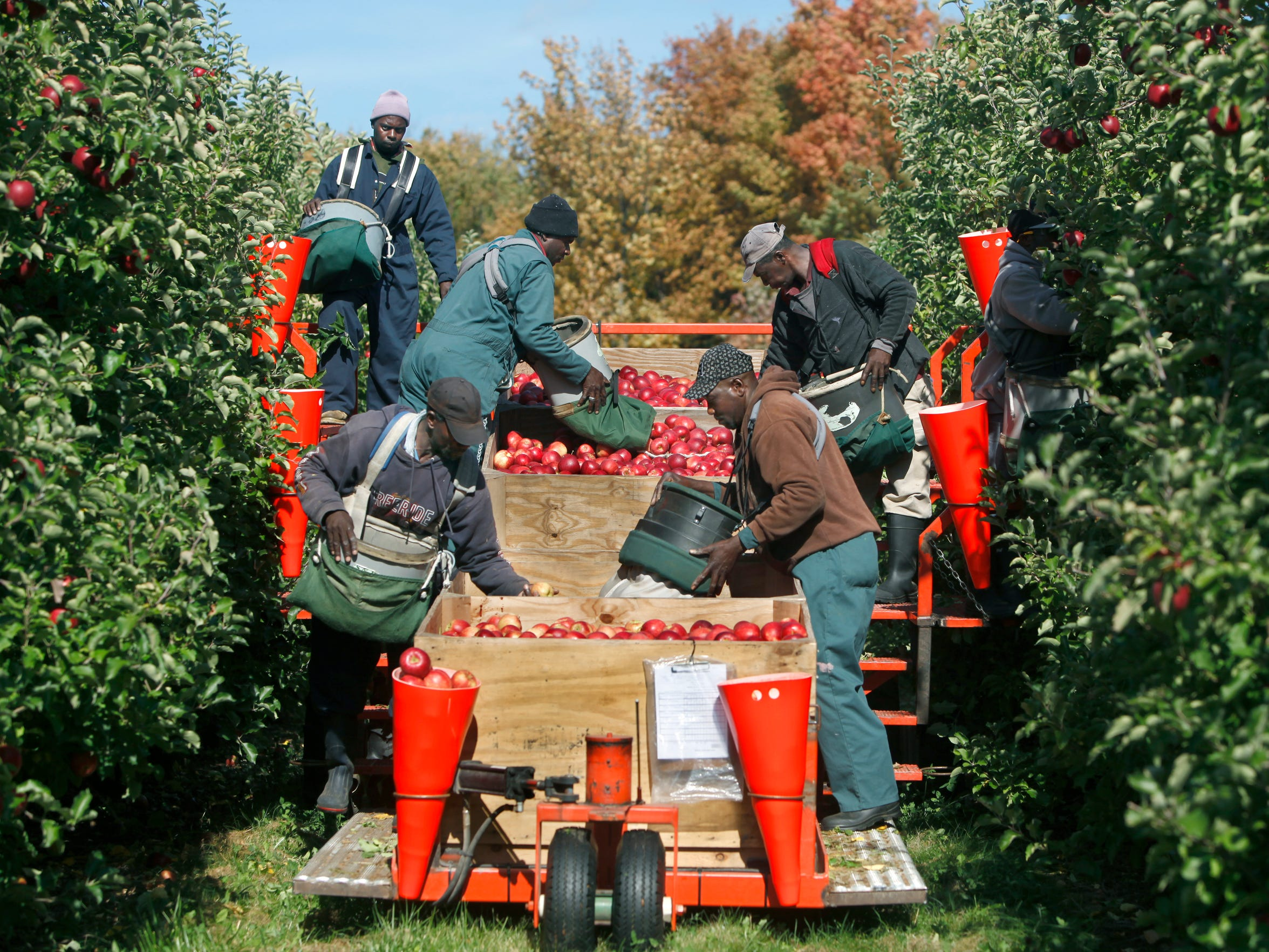 Workers pick Jonagold apples from a platform system
