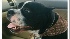Gabbana, a 2-year-old American Bully has been given