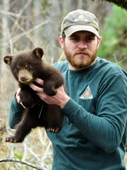 MDC wildlife assistant Brian Buescher holds a black bear cub, one of two found in a den with their mother during a  research foray into the forest in Shannon County.