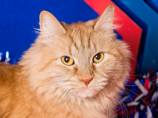 I'm Simba, a mature fella who, after much experience in the dating pool, has decided to take things slow. That means I'd like to get to know you before getting intimate. But I'm sure you understand! Every patient cat person knows with a little time and TLC we could have an amazing relationship! Take a chance on me today!