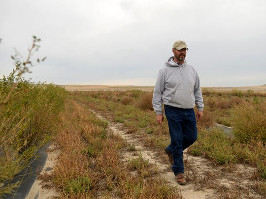 Eric Eneboe, a DNRC land manager, walks through tree rows planted three years ago on Conservation Reserve Program land that is is being developed as upland game bird habitat in Teton County,  Thursday morning near Dutton.