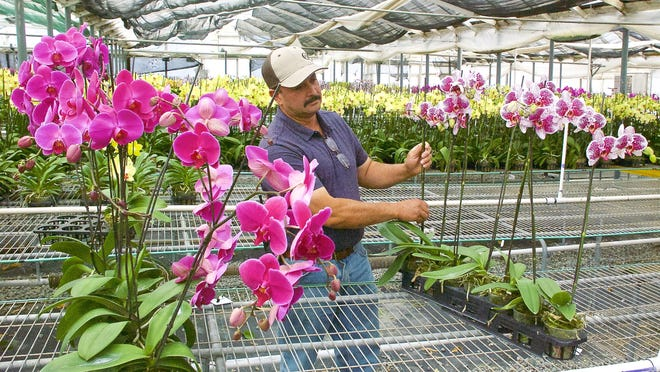Mature orchids like these are shipped to large retailers throughout the United States.
