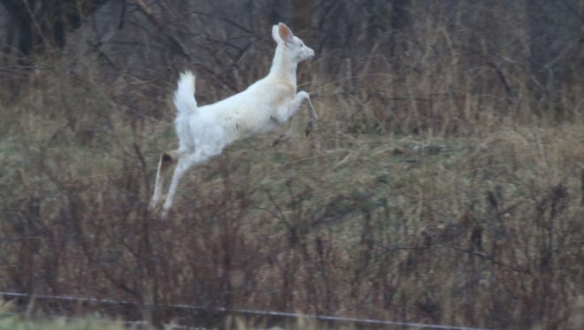 A Seneca white deer leaps up and over a ditch.