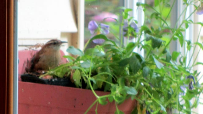 Doreen Tignanelli submitted this photo of Carolina wrens nesting in a wall planter at her house, which she says they have done for years. If you have a nature photo to share, send it to dradwin@poughkeepsiejournal.com