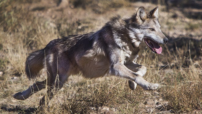 A male Mexican gray wolf tries to elude capture inside an enclosure at Sevilleta National Wildlife Refuge in New Mexico on Nov. 8, 2017. The wolf was to be transported to the Endangered Wolf Center in Eureka, Missouri, for breeding purposes.