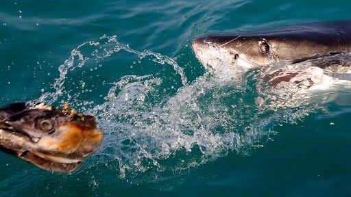 FILE - In this Aug. 11, 2016, file photo, a great white shark tries to bite a fish head being trolled though the water as researchers chum the ocean looking for sharks off the coast of Gansbaai, South Africa. Seals are thriving off the Northeast United States coast thanks to decades of protections. That victory for wildlife has brought a consequence for humans: more encounters with sharks. The Monday, July 27, 2020, death of swimmer Julie Dimperio Holowach, who was killed by a great white off Harpswell, Maine, might have happened because the shark mistook her for a seal, authorities said.