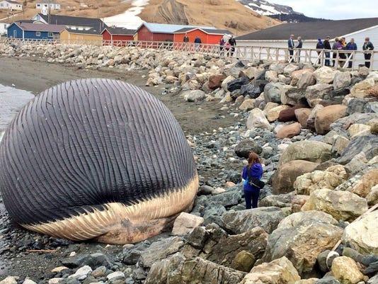 Canada whale carcass