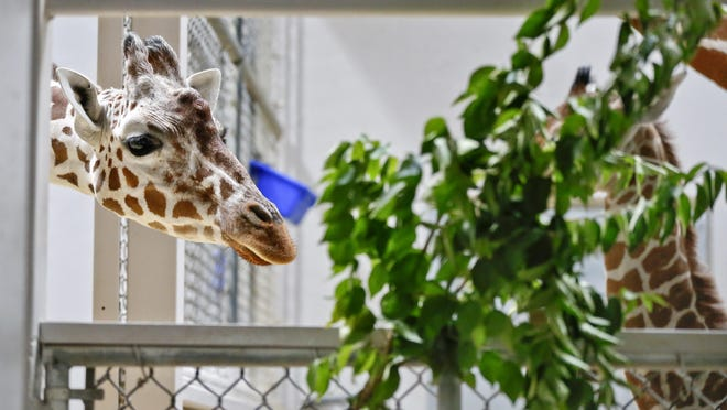 The Topeka Zoo has a fundraiser to help it raise money for a new giraffe project.