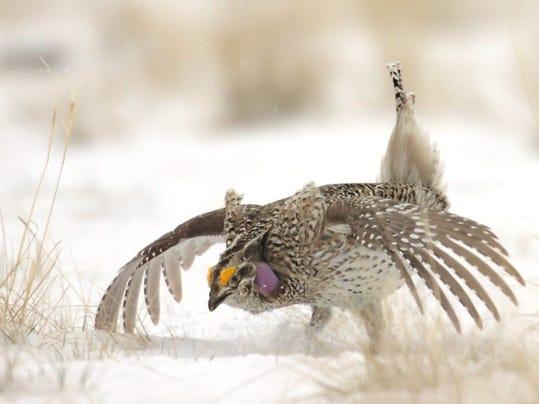 -sharp-tailed grouse at Benton Lake.jpg_20100319.jpg