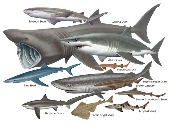 In this photo, provided by the Oregon Coast Aquarium, you can see the various species of sharks that are common to the Oregon coast.