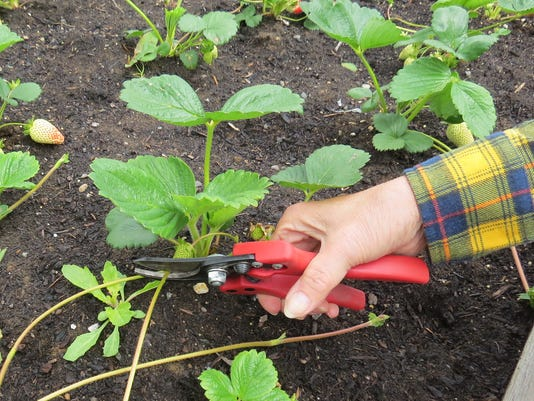 Care For Strawberry Plants During Off Season