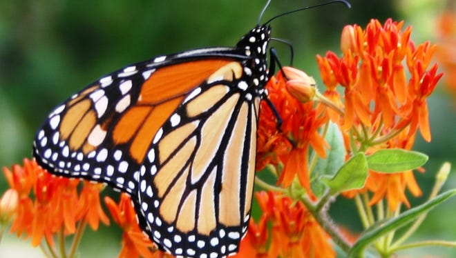 A monarch butterfly perches on milkweed, one of the native plants that will be available at the native plant sale May 13.