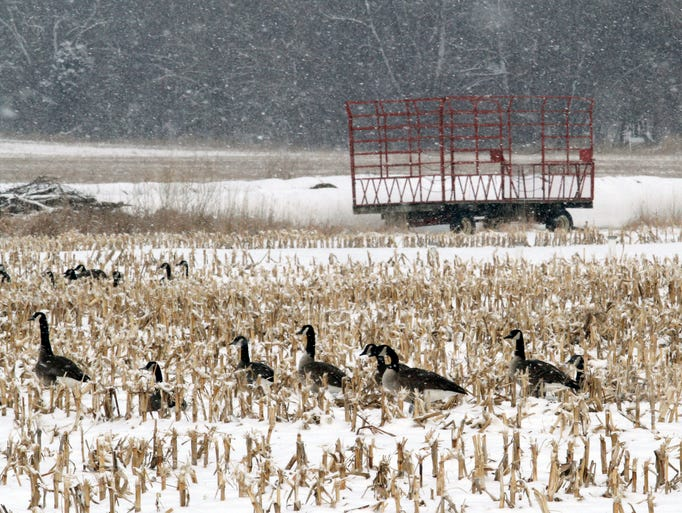 A flock of geese enjoy leftovers in a corn field in