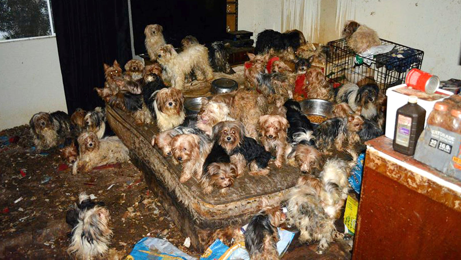 Couple Pleads Guilty To Hoarding 170 Yorkies In California