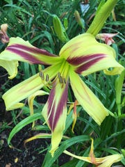 Marked by Lydia is a spider form daylily.
