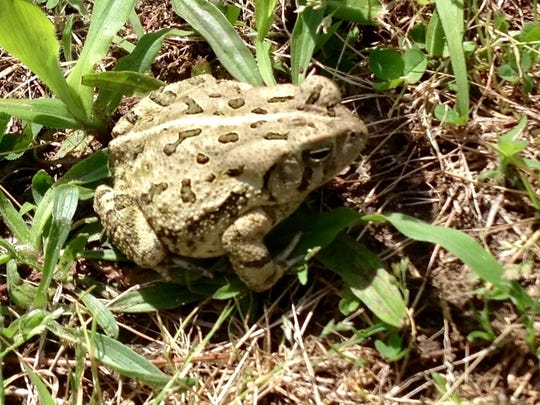 Fowler Toad