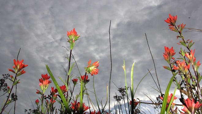 Indian Paintbrush plants glow red against a threatening sky at La Petite Gemme Prairie, along the Frisco Highline Trail.