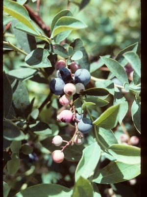 Rabbiteye blueberries create an attractive display in the landscape.