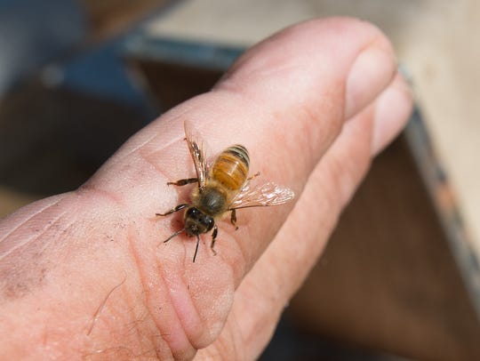 A bee sits on Cal Hollis, a beekeeper from Houston, in this file photo.