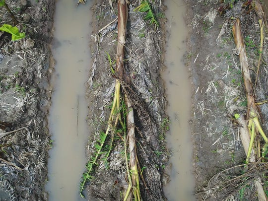Acres and acres of destroyed plantain crops litter