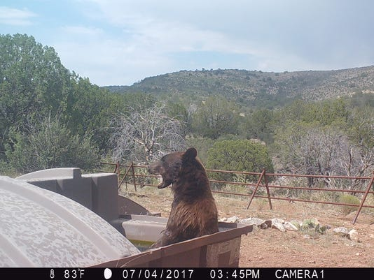 636496382419105544-Trail-Cam-Bear.JPG