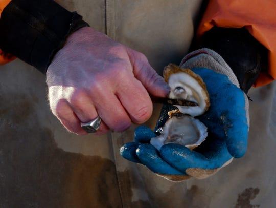 Chris Ludford shucks a fresh Lynnhaven oyster on his