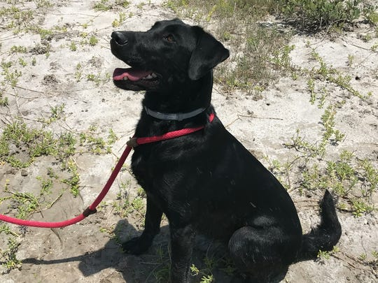 Nika, an 18-month-old black Labrador, looks up at her