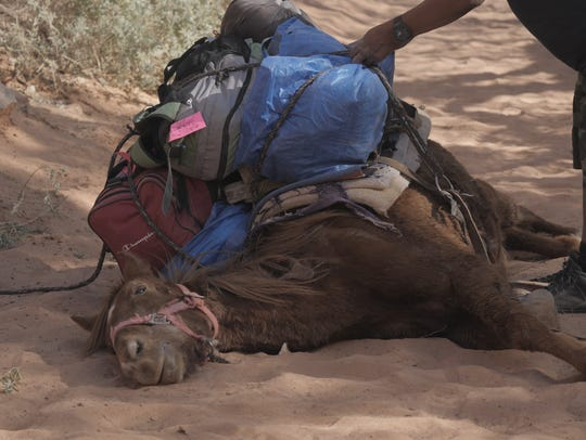 This photo of a collapsed horse on the Havasupai trail